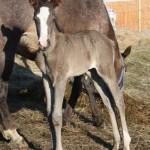 tracy-foal1