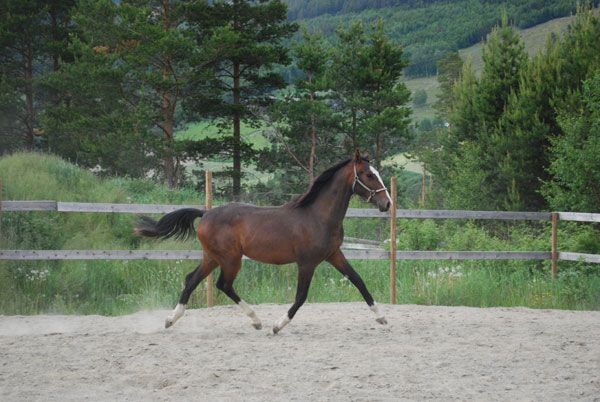 Pablo født 2008 (e.Cicero Van T&L - Animo)