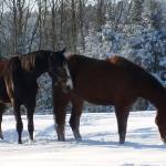 hestene koser seg i snøen