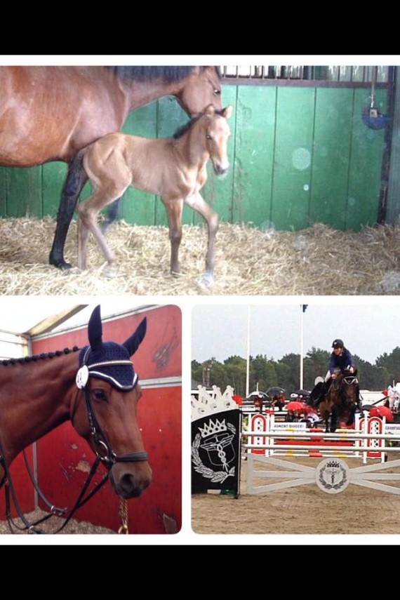 X-It fra føll til finale i Scandinavian Horse Show i Falsterbo